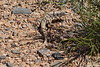 Desert Iguana Fire Canyon Valley Of Fire PDM 03-04-2017 11-53-59
