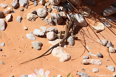 Tiger Whiptail Lizard Rainbow Vista Valley Of Fire PDM 03-04-2017 11-39-05