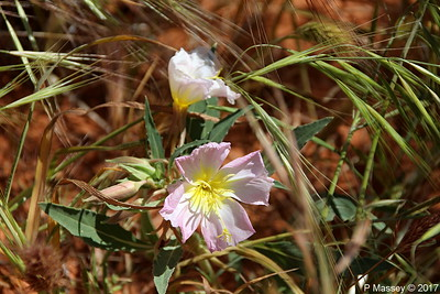 Maybe Mexican Evening Primrose Rainbow Vista Valley Of Fire PDM 03-04-2017 11-38-07