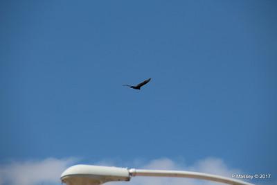 Turkey Vulture Davis Dam Lake Mead National Recreation Area Arizona PDM 31-03-2017 11-42-37