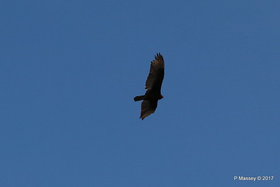 Turkey Vulture Davis Dam Lake Mead National Recreation Area Arizona PDM 31-03-2017 11-42-42