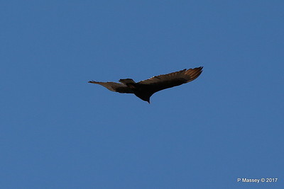 Turkey Vulture Davis Dam Lake Mead National Recreation Area Arizona PDM 31-03-2017 11-42-48