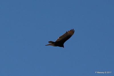 Turkey Vulture Davis Dam Lake Mead National Recreation Area Arizona PDM 31-03-2017 11-42-50