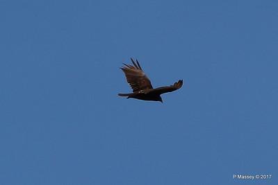 Turkey Vulture Davis Dam Lake Mead National Recreation Area Arizona PDM 31-03-2017 11-42-40