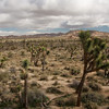 Joshua trees dot the landscape in Joshua Tree