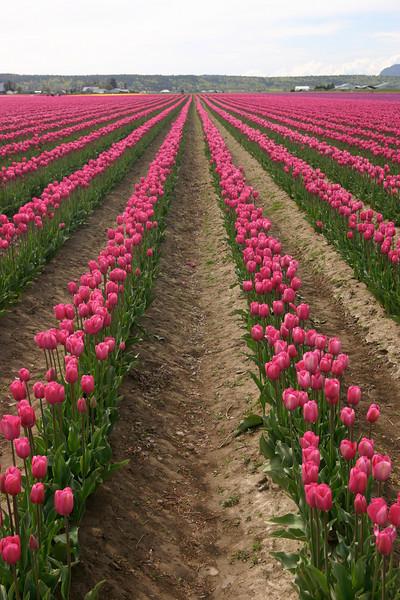 Vast tulip fields in Washington state