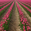 Vast tulip fields in Washington state
