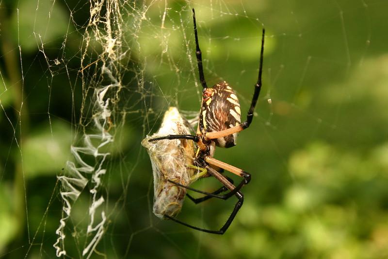 This massive spider had caught a locust and was preparing to devour it