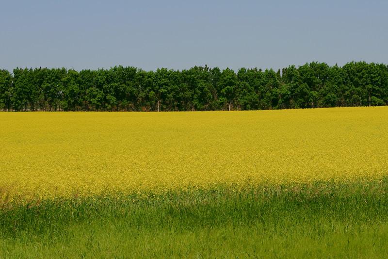A roadside field of flowers in North Dakota
