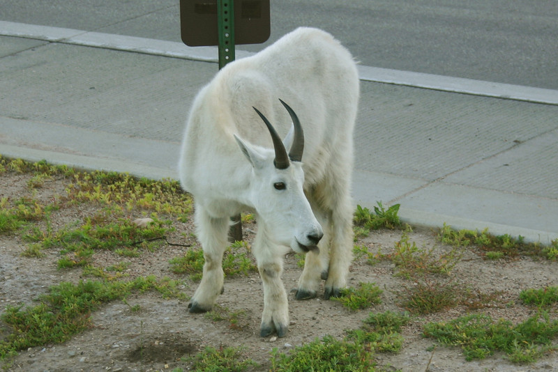 A mountain goat by the side of the road
