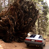 Our trusty '89 Camry, dwarfed by the roots of a fallen Sequoia