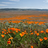 We went to see California poppies in full bloom, in the Antelope Valley, CA