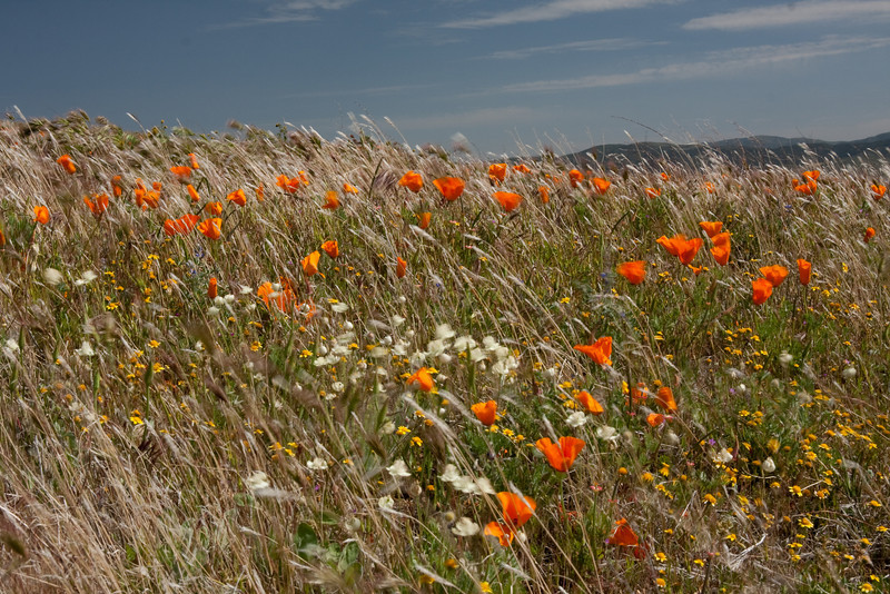 California poppies, Antelope Valley, CA
