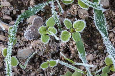 Vinterettårig ugras etter første frosten