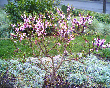 Spring Tree  Spring is here  - Taken at 8:27 PM on March 21, 2006; cameraphone upload by ShoZu