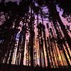 Stromlo trees_0016_4_5