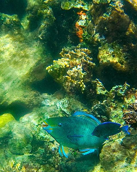 Parrotfish Queen, closeup, 2-08 copy