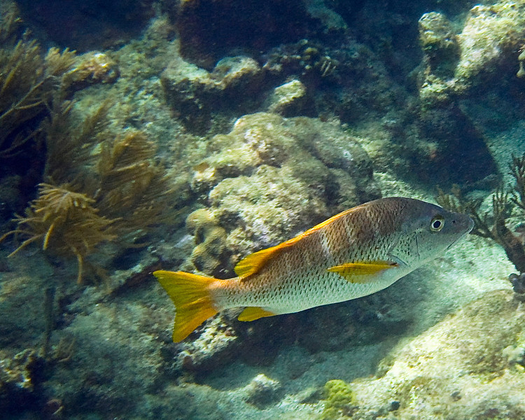 Perfect Yellow Tailed Snapper