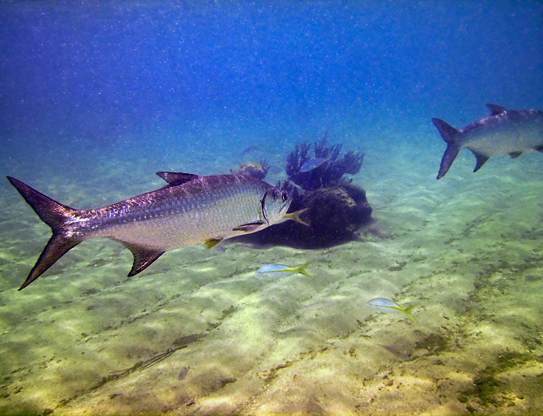 My first coopertive Tarpons, allowing to be photographed.
