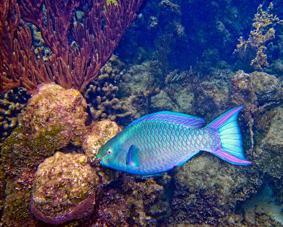 QUEEN PARROT FISH