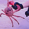 Big sea crab, thrown back in right after this picture!