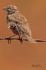 An unidentified bird taken May 15, 2011 near Portales, NM.