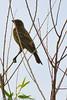 An unidentified bird taken July 21, 2011 near Soccorro, NM.