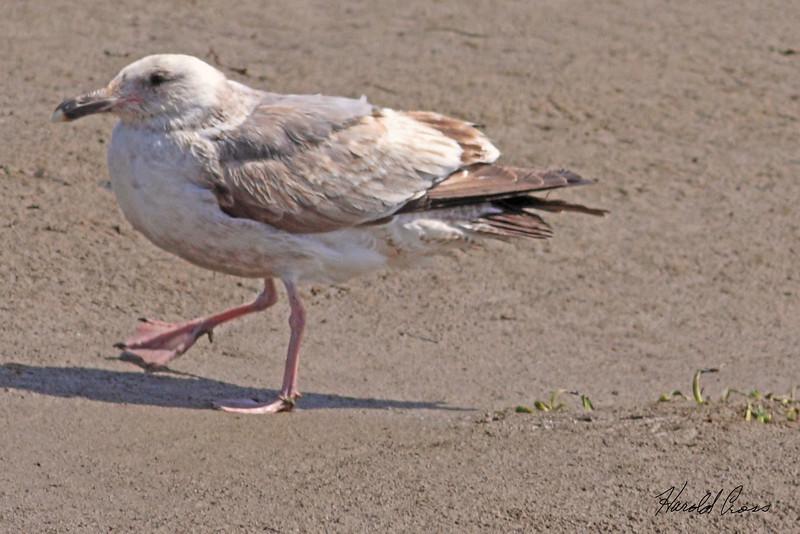 A Gull taken Apr 23, 2010 near Fortuna, CA.