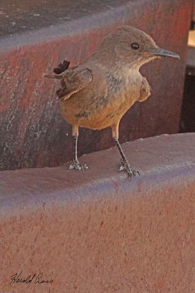 An unidentified bird taken July 3, 2011 near Portales, NM.