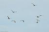 Unidentified Gulls taken Jun 12, 2011 near Eureka, CA.