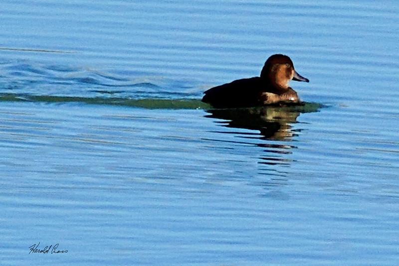 A duck taken Nov. 5, 2010 near Fruita, CO.