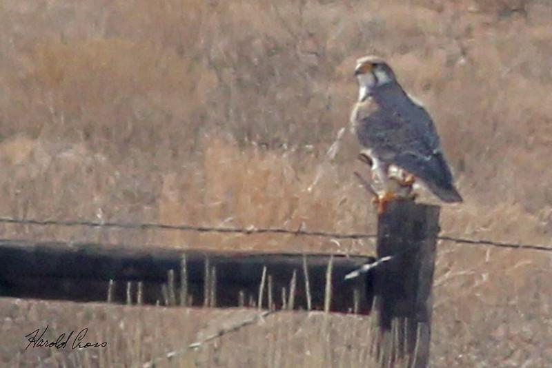A Hawk taken Mar. 9, 2011 near Fruita, CO.