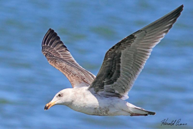 A Gull taken April 17, 2010 in Eureka, CA.