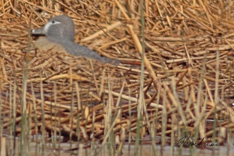 An unidentified bird taken May 2, 2011 near Fruita, CO.