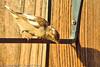 An unidentified bird taken Sep. 13, 2011 in Fruita, CO.
