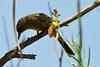 An unidentified bird taken July 20, 2011 near El Paso, TX.