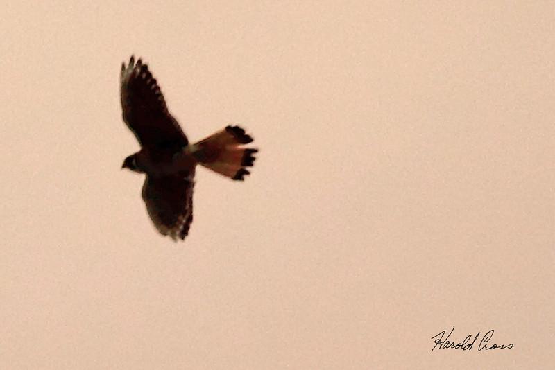An unidentified hawk taken April 27, 2011 near Fruita, CO.