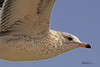A Gull taken Oct. 28, 2010 near Fruita, CO.
