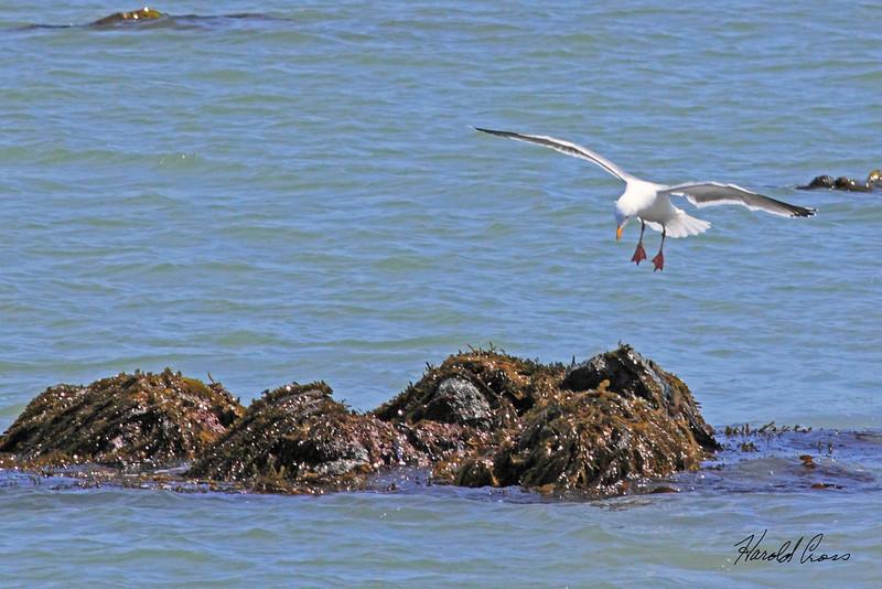 A Gull taken Apr 23, 2010 near Trinidad, CA.