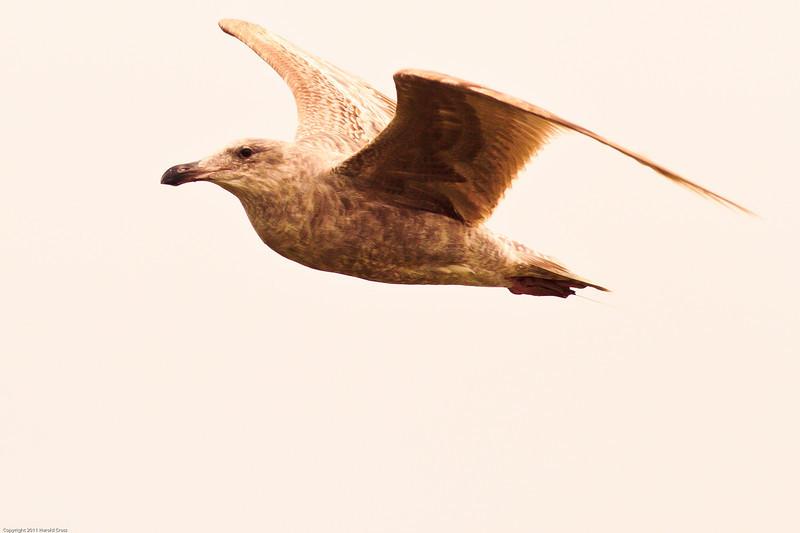 An unidentified Gull taken Jun 12, 2011 near Eureka, CA.