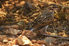 An unidentified bird taken July 13, 2011 near Las Vegas, NM.