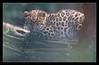 Hvorfor h... skal der være en dumt hegn mellem denne dejlige lille leopardunge og fotografen.....
