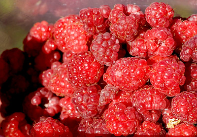 Ripe wild raspberries in Ionia Michigan.