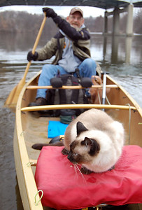 Siamese cat canoeing in Michigan