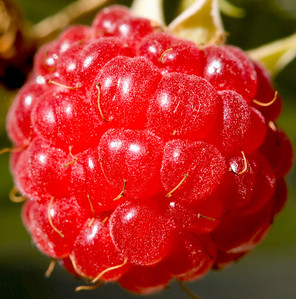 Closeup of a ripe wild raspberry in Ionia Michigan.