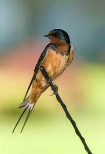 Barn Swallow on car antenna