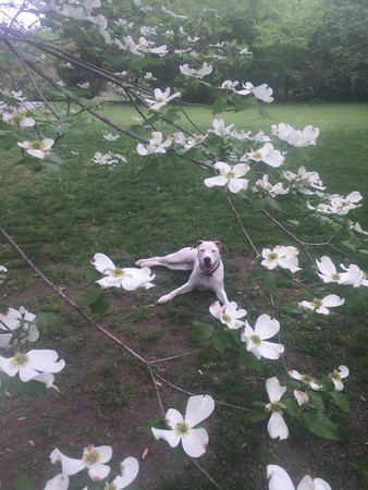 Dog in the dogwood. <br /> <br /> Photographer's Name: Elizabeth Hart<br /> Photographer's City and State: Muskogee, OK