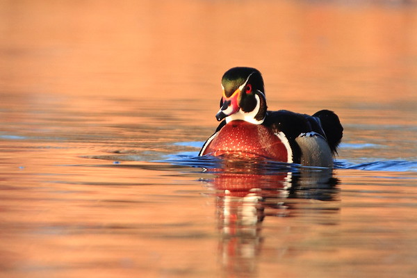 Wood Duck- St. Francis River, Sherburne NWR