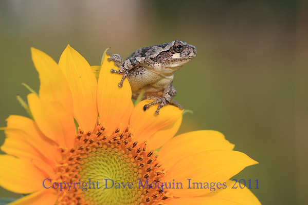 Gray Tree Frog on Sunflower- Backyard
