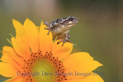 Gray Tree Frog on Sunflower- Backyard